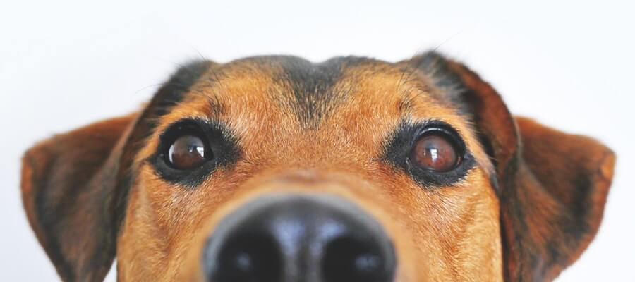 Close Up on Cute Dog Nose and Eyes