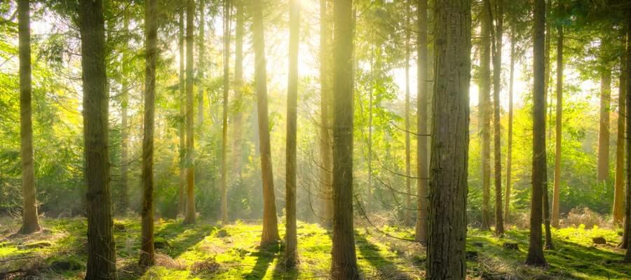 Sun light through a pine forest